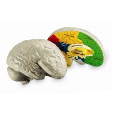 Soft Foam Cross-Section Human Brain Model
