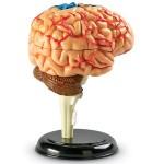 Brain Anatomy Model