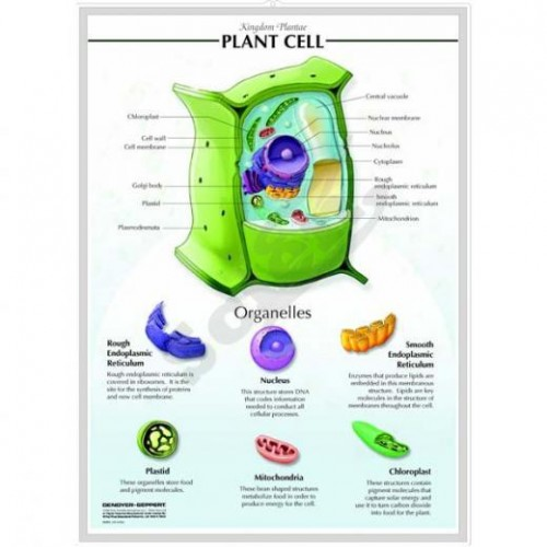 3-D Relief Mode of Cells, Plant Cell
