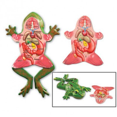 Cross-Section Frog Model
