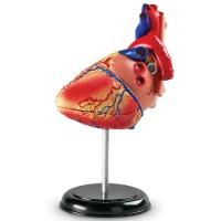 Heart Anatomy Model