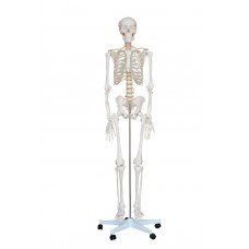 Human Anatomy Life-Size skeleton Model