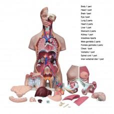 Human Anatomy Life-Size Unisex Torso Model