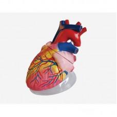 Model of Human Heart, 4 parts