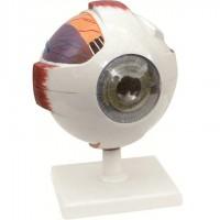 Eye Model - Dissectable