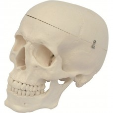 Model of Adult Human Skull